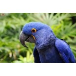 Periquito Azul:  Fun Facts about our Feathered Friend