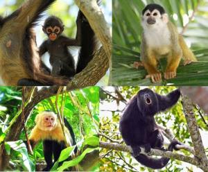 Monkeys of Costa Rica