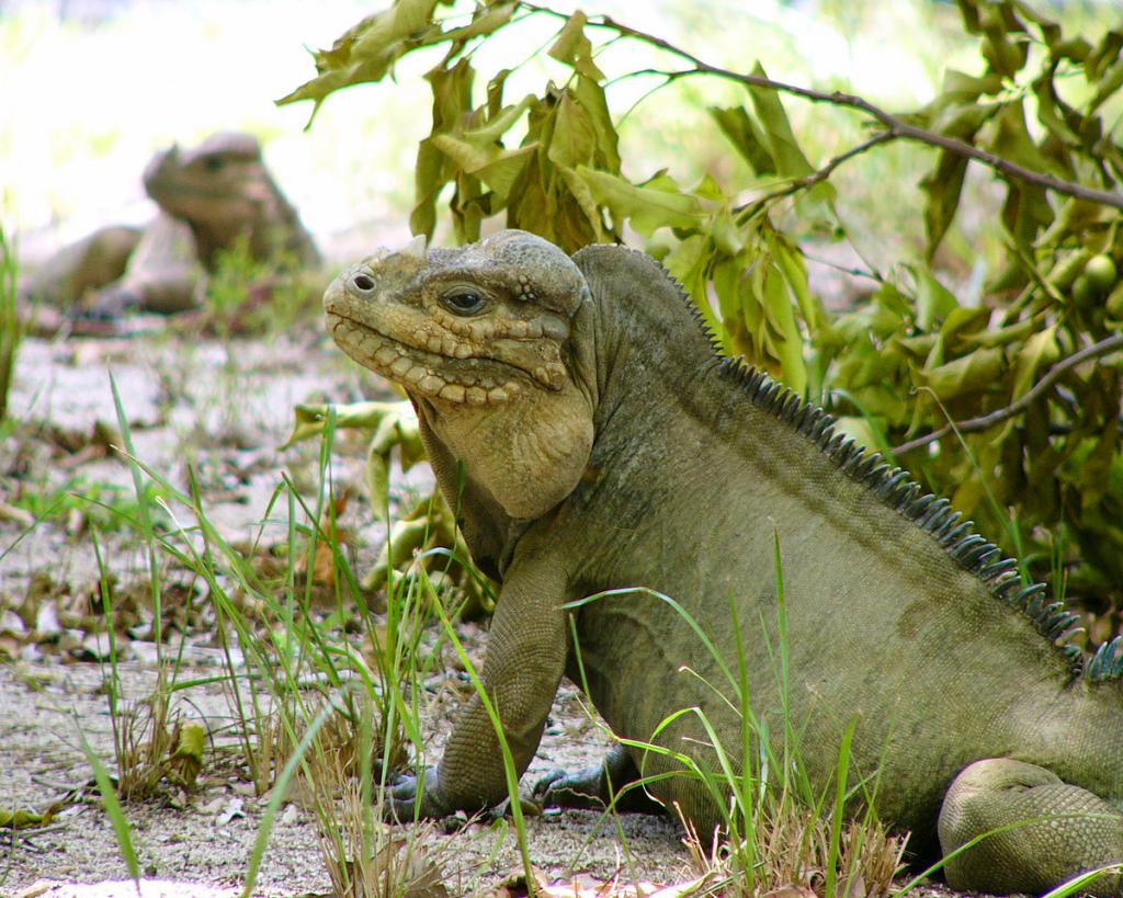 Mona iguana